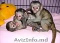 Maimuțe sănătoase  socializate pentru X-Mass