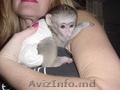 Sunt disponibile maimuțe de cimpanzeu,  capucin,  veveriță,  păianjen și marmoset